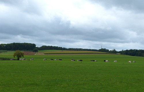 Landscape with cattle and three tractors near Nuth - Limburg