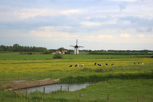 Grazende koeien en molen