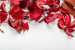 Red autumn leaves of wild grapes