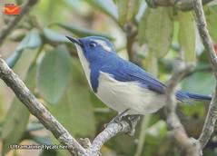 Birds of the Himalayas