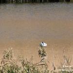 Aves en las lagunas de La Guardia (Toledo) 29-9-2019