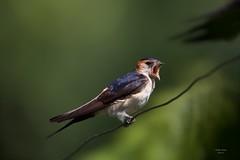 Andorinhas (Swallows)