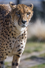 A cheetah approaching