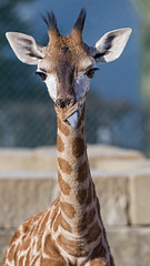 Funny young giraffe showing tongue