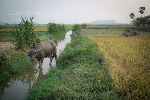 Water Buffalo Crosses a Ditch Between Fields at Dusk
