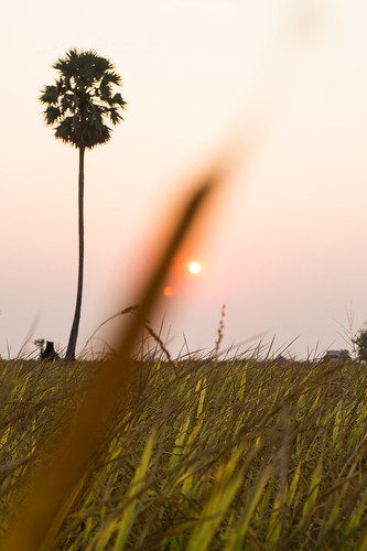 View of Rice Field and Palm Tree at Sunset (#1)