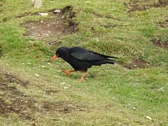 Chough-South Stack Anglesey DSCN1546