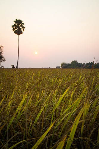 View of Rice Field and Palm Tree at Sunset (#2)