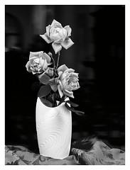 Roses in White Vase