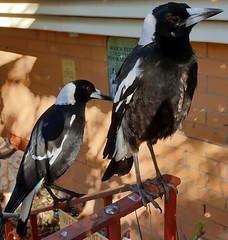 Magpies (7)