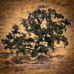California Pacifc Oak Tree