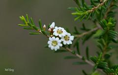 Australian flowers