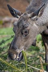 An elk eating some fir branches