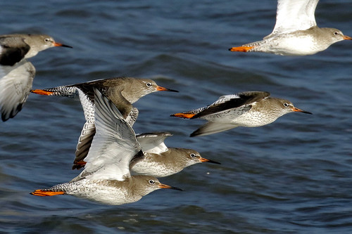 Redshanks in FLight