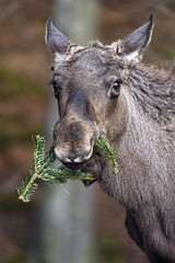 An elk eating some fir branches, again