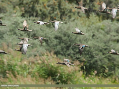 Common Teal (Anas crecca) & Garganey (Anas querquedula)
