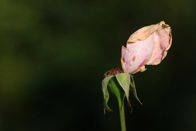 Photo:Mon amie la rose..... By Évie.