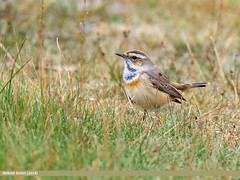 Bluethroat (Luscinia svecica)