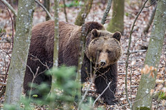 Bear walking in the forest