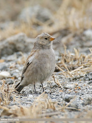 Black-winged Snowfinch (Montifringilla adamsi)