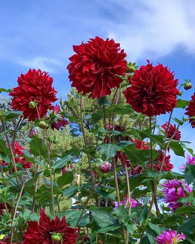 Dahlia Garden 05