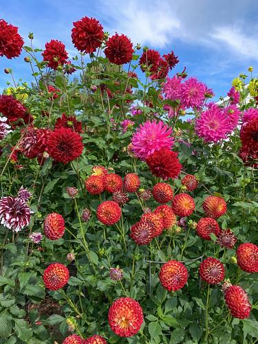 Dahlia Garden 04