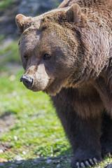 Close bear, exploring