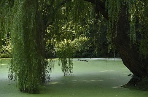 Unter der Trauerweide (Salix×sepulcralis); Holbek, Nordfriesland (15)