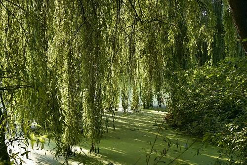 Unter der Trauerweide (Salix×sepulcralis); Holbek, Nordfriesland (4)