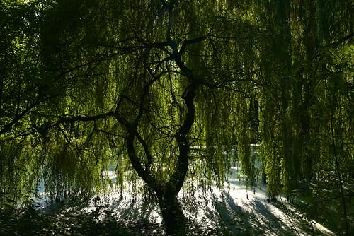 Unter der Trauerweide (Salix×sepulcralis); Holbek, Nordfriesland (3)