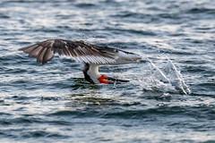 Black Skimmer Catching