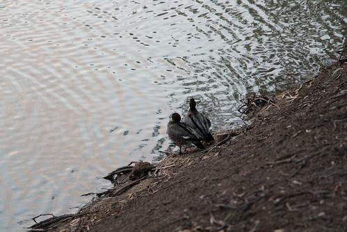 Ducks at the Murrumbidgee River shore