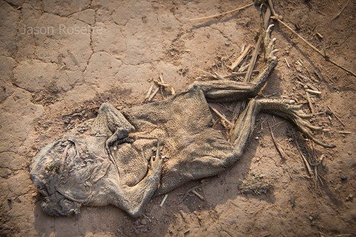 Portrait of Dead Frog on the Roadside, Cambodia