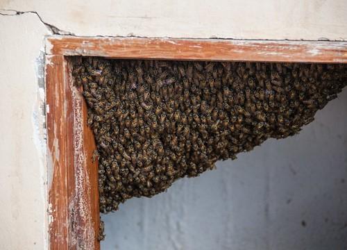 Colony of Bees in Corner of Doorframe