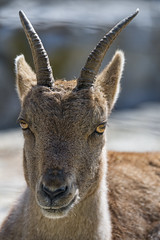 Portrait of a young ibex