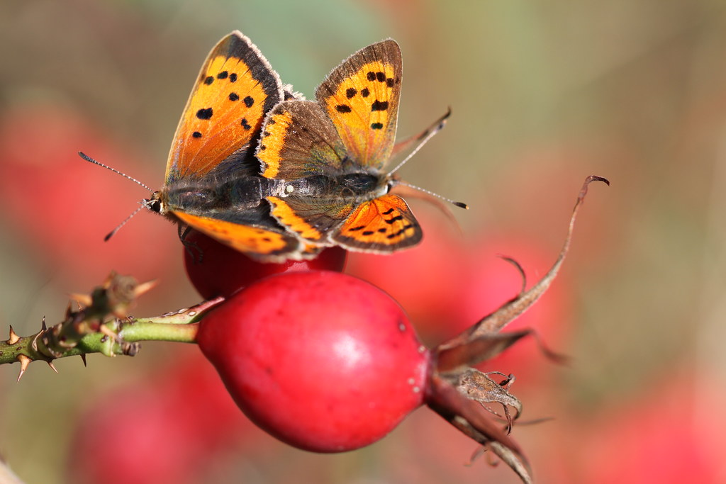 Mating Small Coppers - spot the egg.