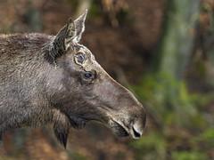 Profile portrait of a calm elk