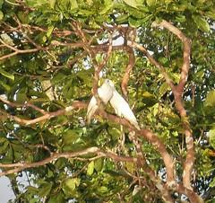 Sulphur -crested Cockatoos