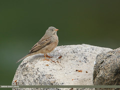 Grey-necked Bunting (Emberiza buchanani)