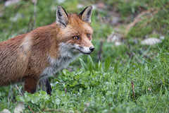 Nice attentive fox in the grass
