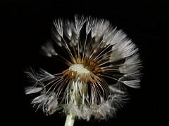 Dandelion at night