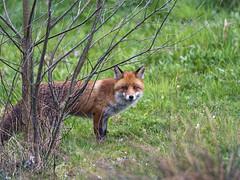 Fox behind the tree