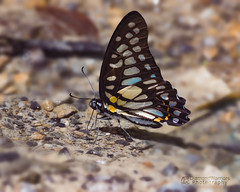 Graphium chironides (Honrath, 1884) – Veined Jay