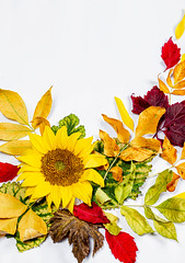 Sunflower and colorful autumn dry leaves