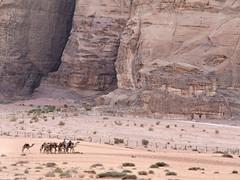 Caravana de camellos, Desierto de Wadi Rum, Jordania