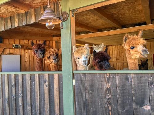 Alpacas in the shed at Weinbergerhaus on Stadtberg mountain near Kufstein, Tyrol, Austria