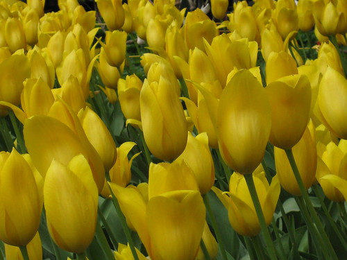 A Sea of Golden Tulips