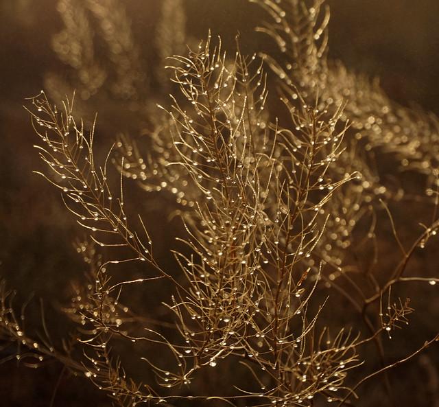 Golden Boughs