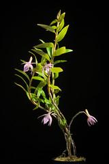 [Sulawesi, Indonesia] Dendrobium klabatense Schltr., Repert. Spec. Nov. Regni Veg. 8: 505 (1910)