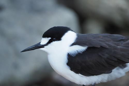Pacific Sooty Tern (Onychoprion fuscatus serrata)